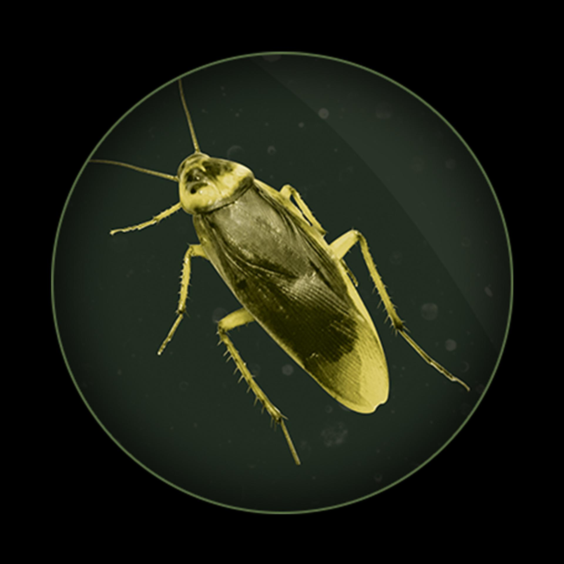 Cockroach under UV lighting