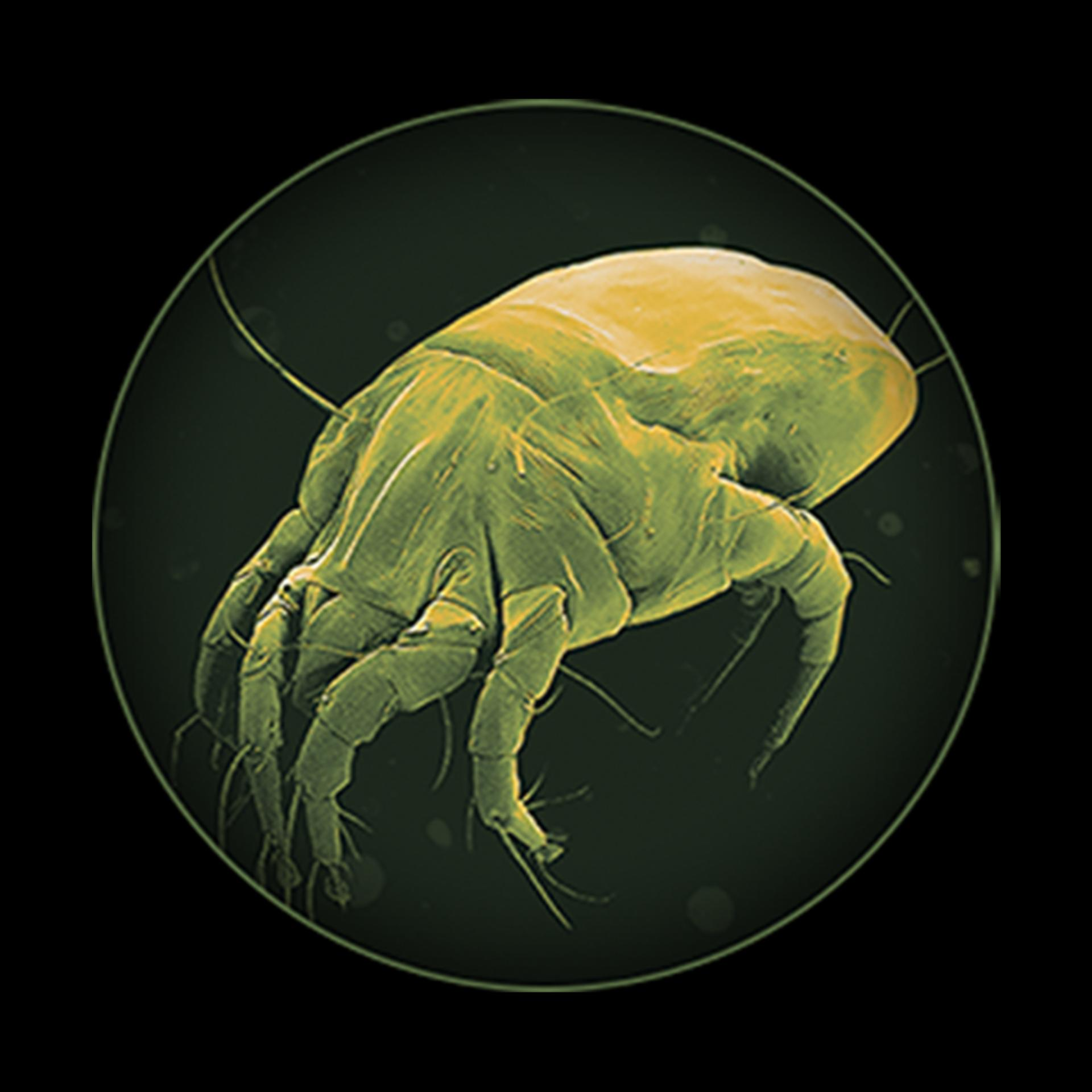 Dust mite under microscope