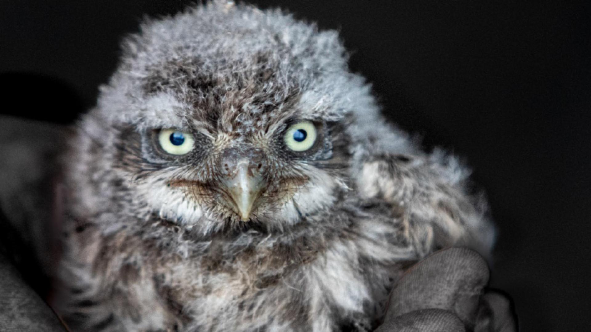 An Owl chick