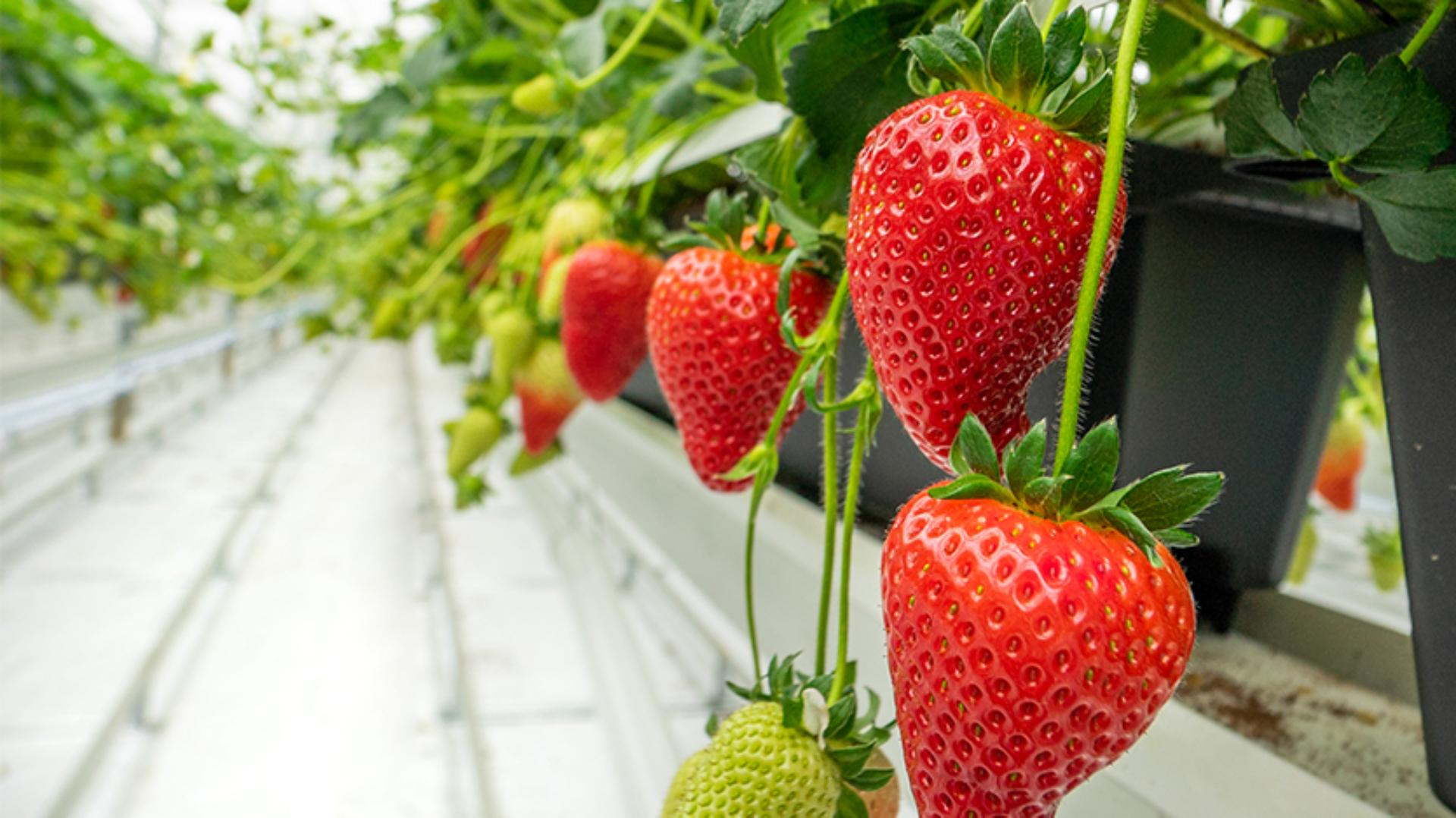 Dyson strawberries grown in the greenhouses in Lincolnshire
