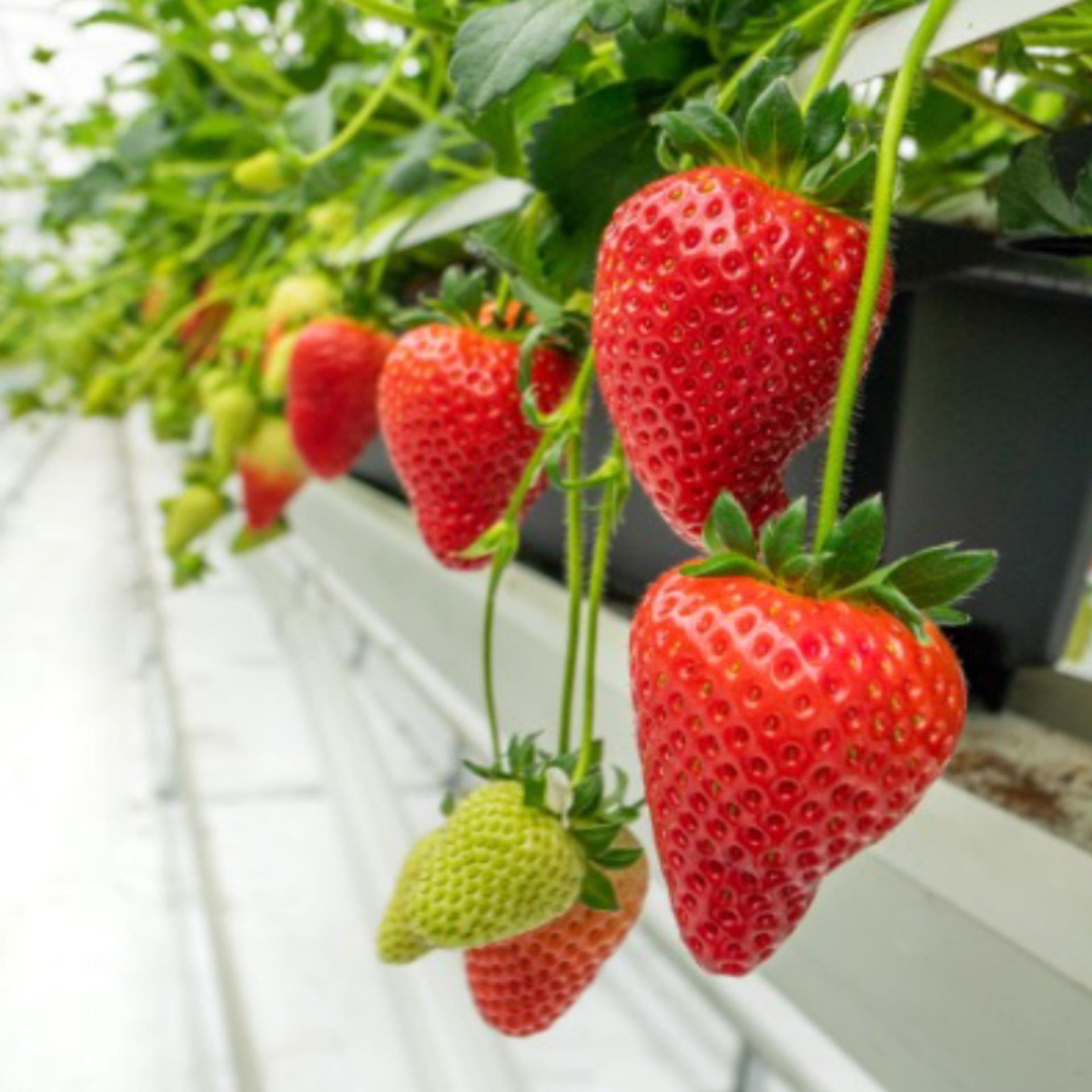 Pots of growing strawberries